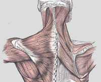 muscles du cou muscle cervical muscles cervicaux. Black Bedroom Furniture Sets. Home Design Ideas